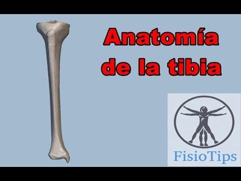 Anatomía de la tibia | ostelogía del miembro inferior - YouTube