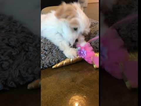 Coton de Tulear Puppy Meets Unicorn