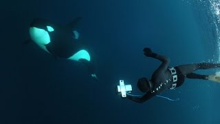 Snorkelling with Orcas and Humpback Whales in Northern Norway