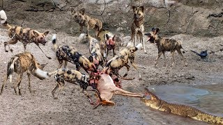 A crocodile Snatch food of 20 Wild Dogs - BIG BATTLE of Crocodile vs Wild Dogs
