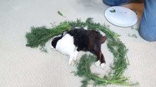 Waking A Sleeping Rabbit By Surrounding Him With Dill