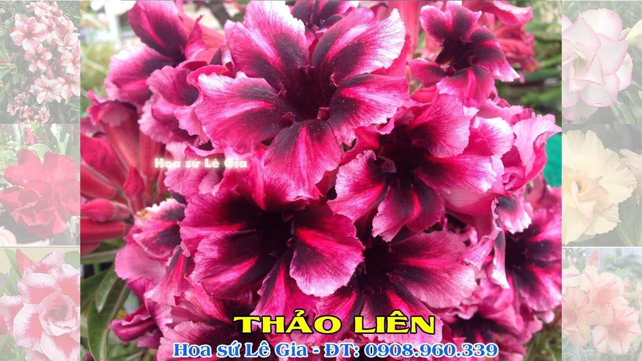 06/08/20 - Nay con bán 33 cây sứ thái đẹp, đang hoa. Giá: 100-150k/cây. Liên hệ: 0908.960.339