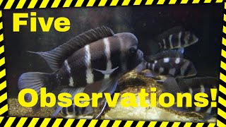 Repeat youtube video Five Observations of The Frontosa Cichlid Colony!