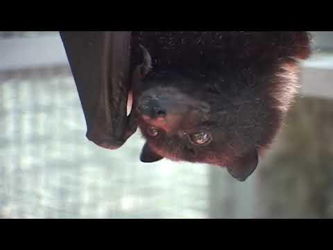 MARIANAS FRUIT BAT, ENDANGERED SPECIES. GUAM USA.