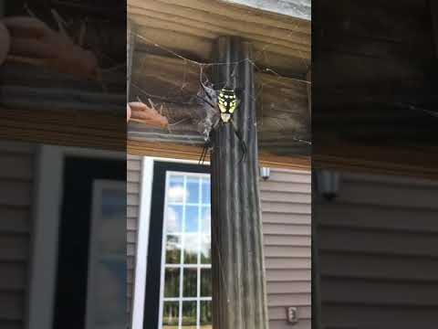 A Guy Feed Locust to Giant Spider.. so terrifying video