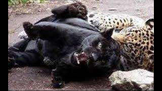 Jaguar vs Leopard real Fight - Wild Animals Attack