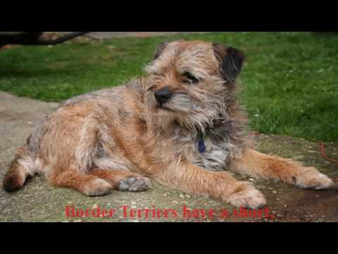 The Border Terrier is a very fascinating little dog