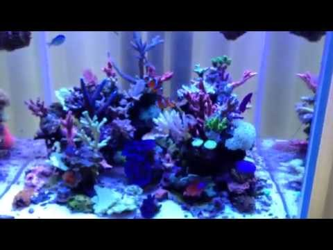 BasJacobs SPS Cube New Corals and Growth under ATI Powermodule Hybrid in Amsterdam