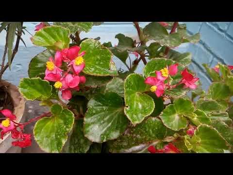 750 Begonia क लग न और उसक द खभ ल Growing Begonia Its Care Hindi Urdu 17 6 18 Youtube