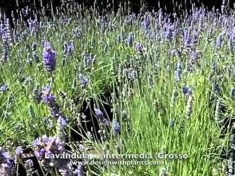 lavandula-x-intermedia-'grosso'---'grosso'-lavandin,-hedge-lavender