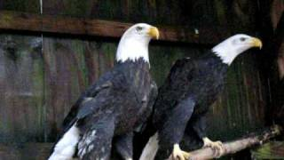 Two Bald Eagles Calling