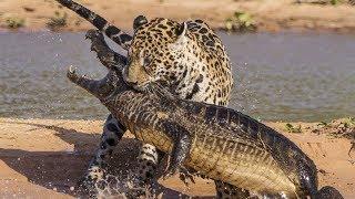 Jaguar VS Crocodile & Amazing Animal Fights - Wild Animals Documentary 2018