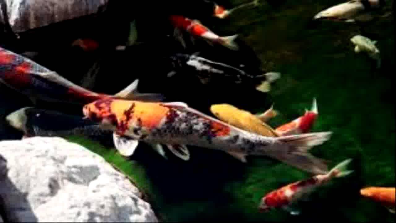 Beautiful carp koi japanese koi koi fish youtube for Koi youtube