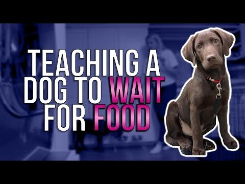 "TEACHING A DOG TO ""WAIT"" FOR FOOD"