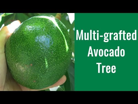 How To Graft Avocado Trees - Multi-grafted Avocado