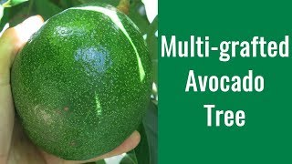 How to Graft Avocado Trees - Multi-grafted Avocado