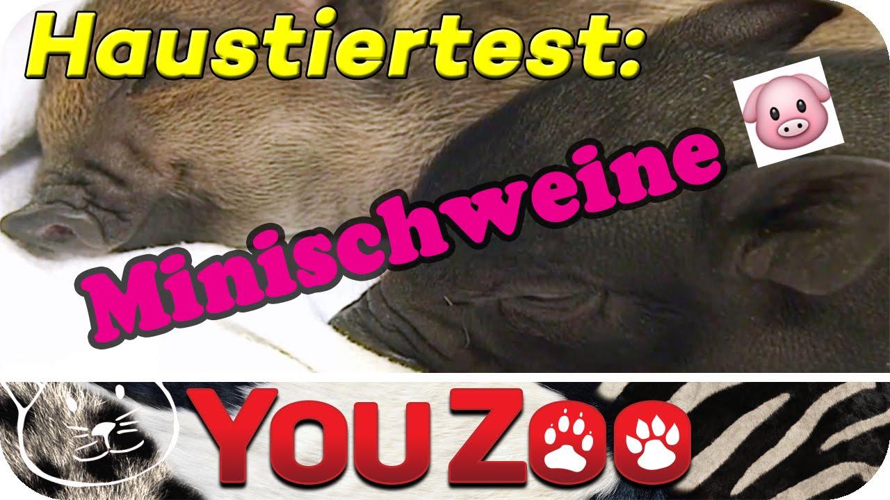 Download Minischweine als Haustiere? Schweine als Haustiere I Babyferkel