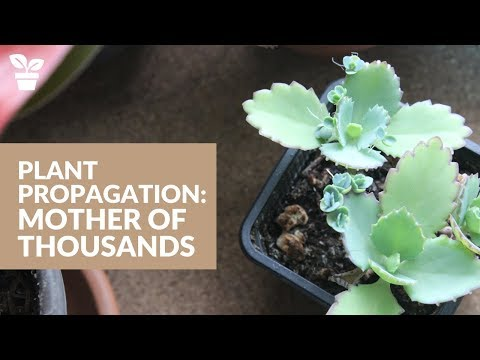 Plant Giveaway | Mother of Thousands Propagation | How to propagate plantlets