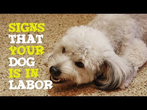 signs-of-dog-in-labor