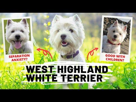 15 Fun Facts of Westie Dog | West Highland White Terrier