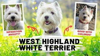15 Fun Facts of Westie Dog   West Highland White Terrier