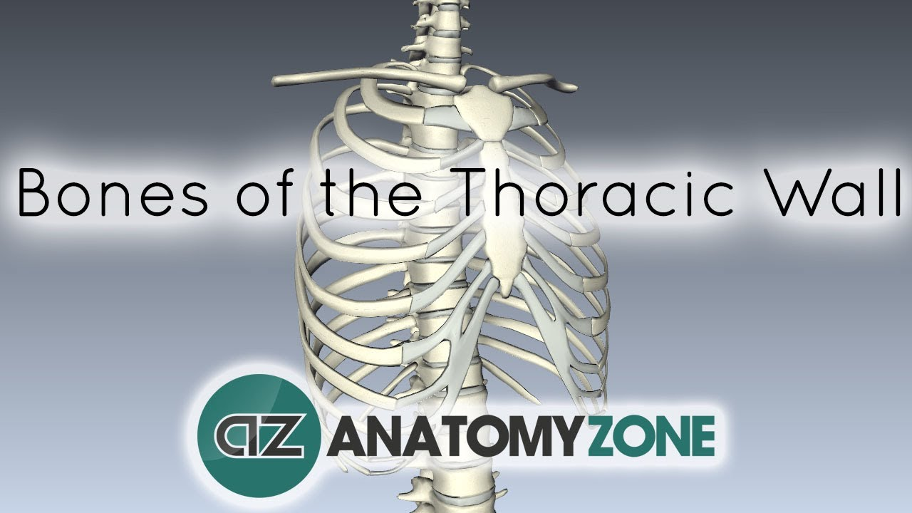 Bones of the Thoracic Wall - 3D Anatomy Tutorial - YouTube
