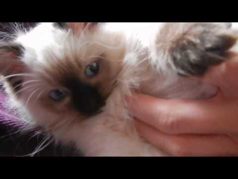 Rùmil the ragdoll cat cuddling 12 weeks old