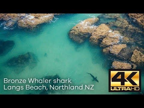 Langs Beach Bronze Whaler Shark Approach