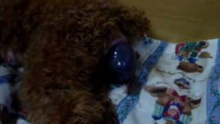 Nikki - The Process Of Giving Birth (toy Poodle)
