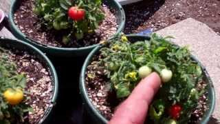 Worlds Smallest Tomato Plants Micro Toms Are Amazing!