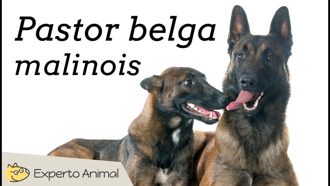 Pastor belga malinois - Características y adiestramiento - YouTube