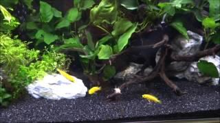 初めての淡水熱帯魚飼育 コリドラス水槽立ち上げました その2