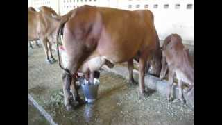 Milking process, Dairy process, Cowstable near Indore, 2013, India, very cruel process, very sad
