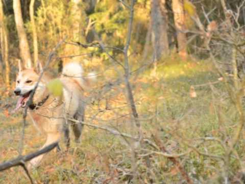 Охотник Алексей Кулагин и его Западно-сибирская лайка Кучун ( БКО Сезон охоты)