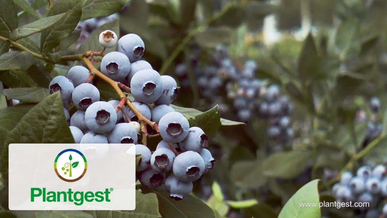 Top Goji-Mirtillo inverno di duro GIARDINO arbusto gelo semi duri sementi sementi