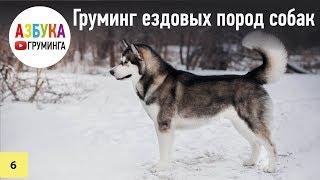 Ездовые собаки - груминг хаски, маламута, самоеда. Гонки. Принцип работы с двойным типом шерсти.