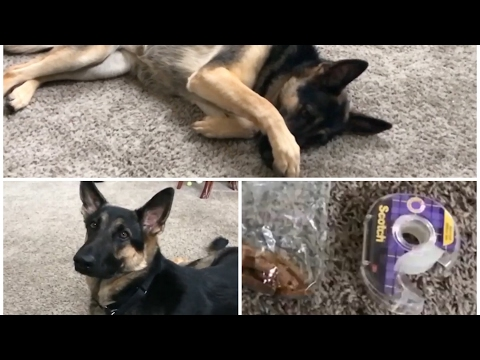 How to Train a dog to be cute! Shy Girl = cover eyes or nose German Shepherd GSD Kara Batilo