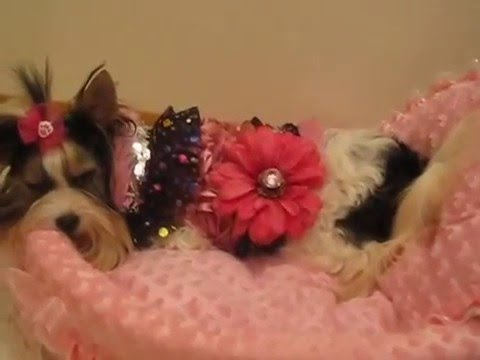 Artistically Bred  PEBBLES  the worlds smallest Teacup Biewer Yorkshire Terrier