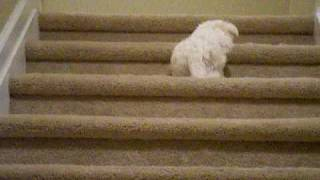 Ollie (maltese Puppy) Barking On Stairs