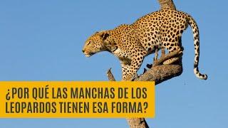¿Por qué las manchas de los leopardos tienen esa forma? | Morfogénesis