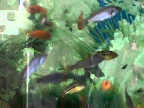 criadero de peces ornamentales certiexport youtube