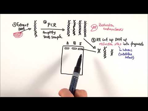 A2 Biology - DNA Profiling (OCR A Chapter 21.1)
