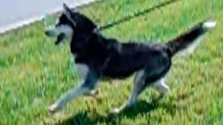 Собака Хаски для фото /8(916)702-11-08/ Фотосессии с собакой хаски