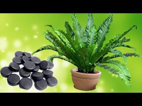 Активированный уголь – важный препарат для комнатных растений.