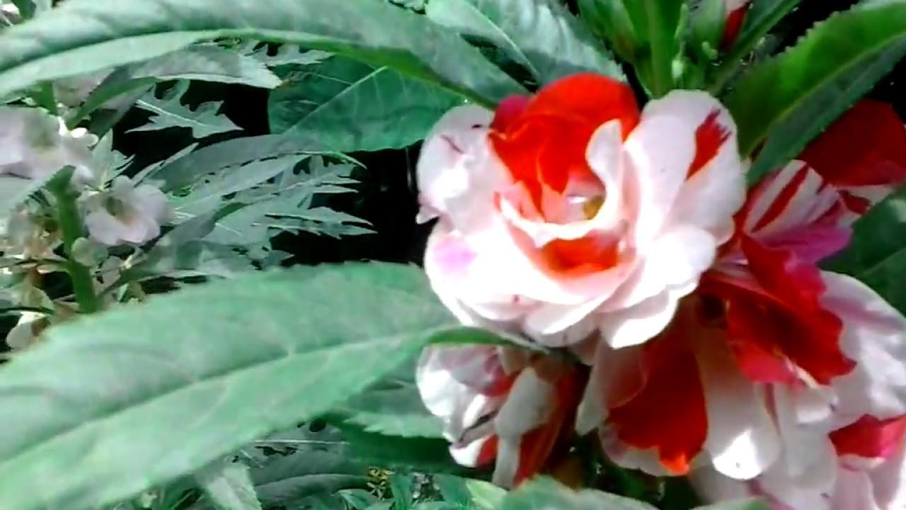 Belenes matizados morados plantas de flores youtube for Tipos de plantas para jardin