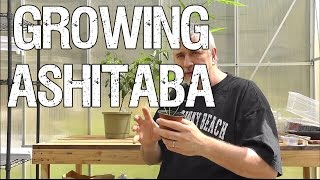 Growing Ashitaba - The Miracle Herb