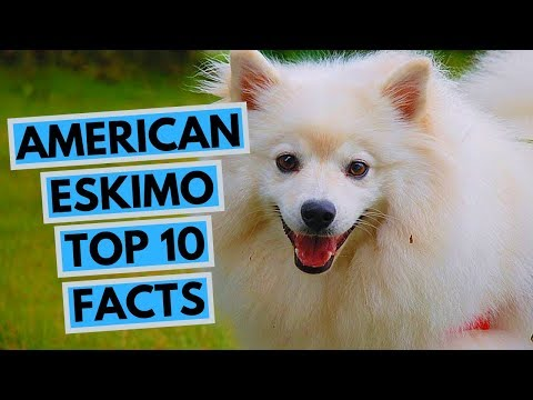 American Eskimo Dog - TOP 10 Interesting Facts