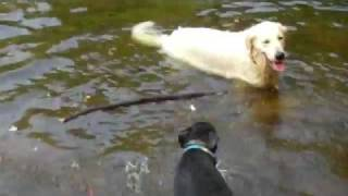 Golden Retriever Dog Teaches A Rottweiler/lab Mix To Swim & Fetch Sticks