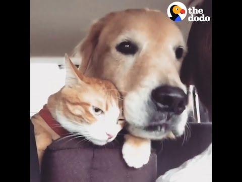 Cat Does NOT Love Road Trips With His Dog | The Dodo