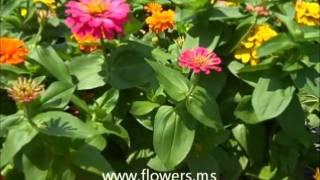 Popular Videos - Zinnia & Perennial plant